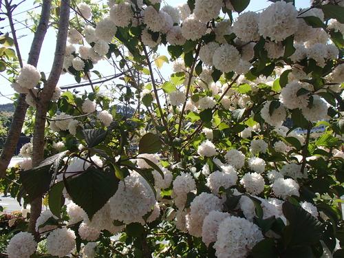 白の花.JPG