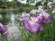 なまずの郷の菖蒲の花